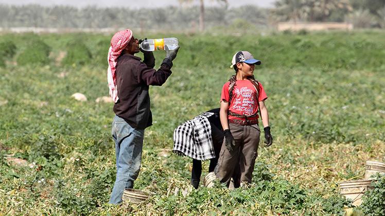 Israel explota brutalmente a centenares de niños palestinos en asentamientos agrícolas