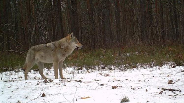Fotos, video: Cámaras revelan la vida silvestre oculta de Chernóbyl