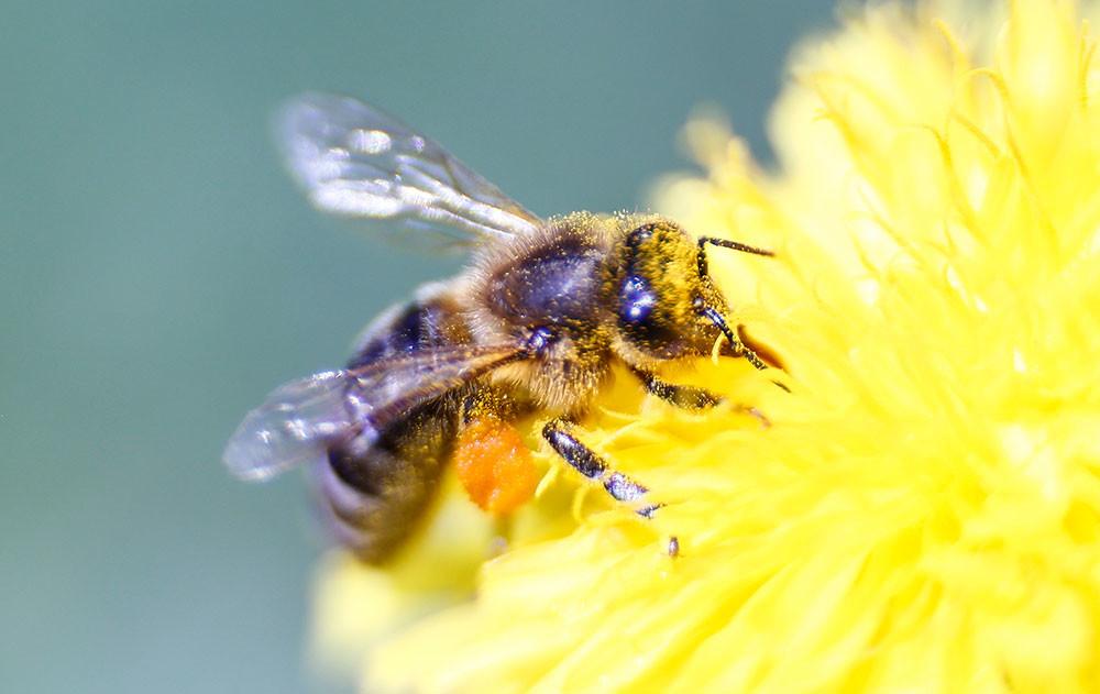 La abeja doméstica