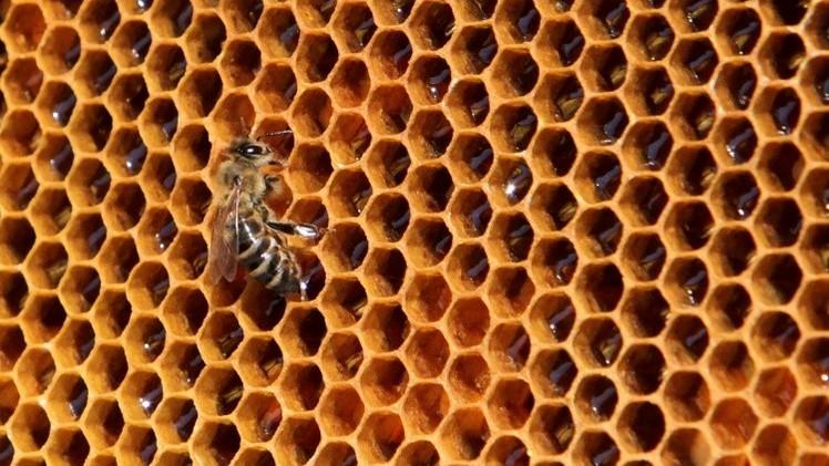 Reporte: Las abejas se extinguen a un ritmo alarmante en EE.UU.