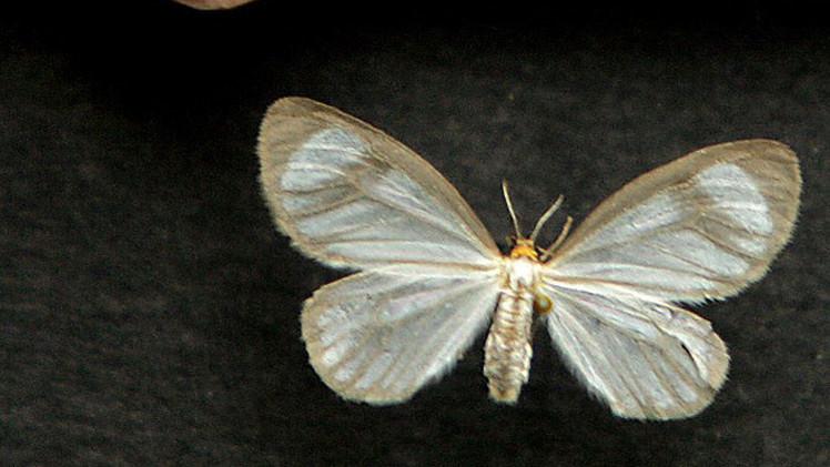 Una  mariposa puede suplantar a glifosato en guerra contra drogas en Colombia