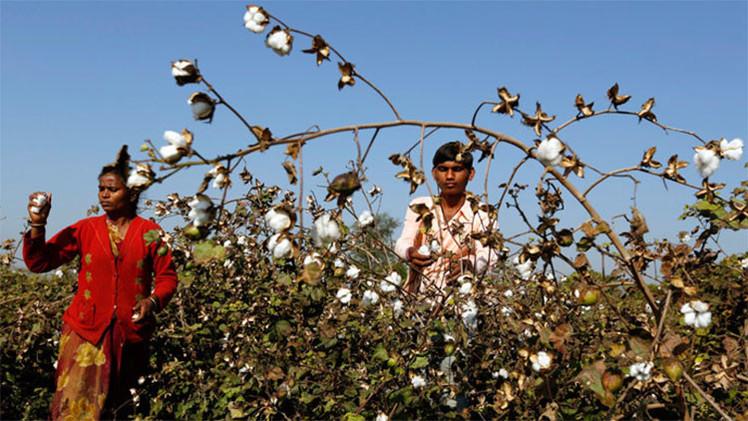 India: Monsanto puede estar detrás de miles de suicidios de agricultores de algodón