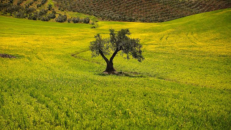 ¿El mundo se quedará sin olivas? España e Italia se enfrentan a la amenaza del 'ébola del olivar'