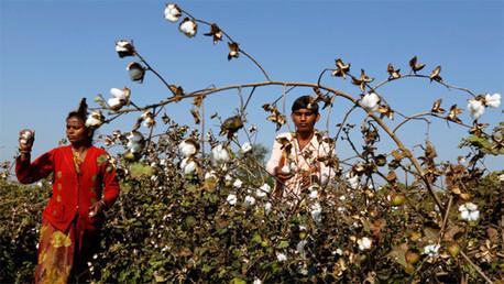 India: Monsanto no reconoce que su algodón modificado pudo causar suicidios de miles de granjeros