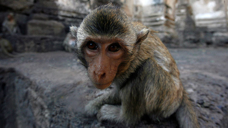 Un cirujano chino quiere realizar el primer trasplante de cabeza en primates