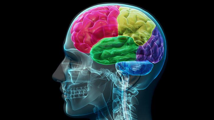 Científicos descubren cuándo aumenta el tamaño del cerebro