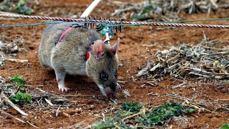 Un equipo de gigantes ratas-zapadoras se prepara para su misión en Camboya