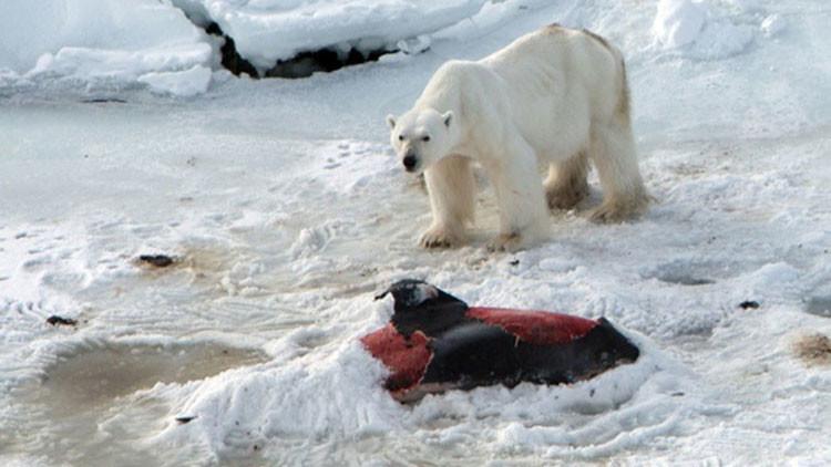 Algo va mal en la naturaleza: Osos polares empiezan a comer delfines (Fotos)