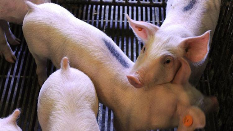 Investigador japonés cultivará órganos humanos en cerdos