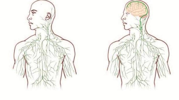 Científicos descubren el eslabón perdido del cuerpo humano