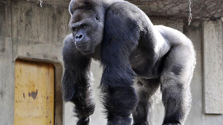 Video, fotos: El 'gorila-galán' se gana los corazones de las mujeres japonesas