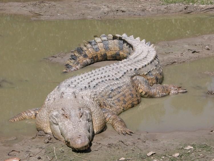 Los cocodrilos de agua salada son los mayores réptiles de la Tierra