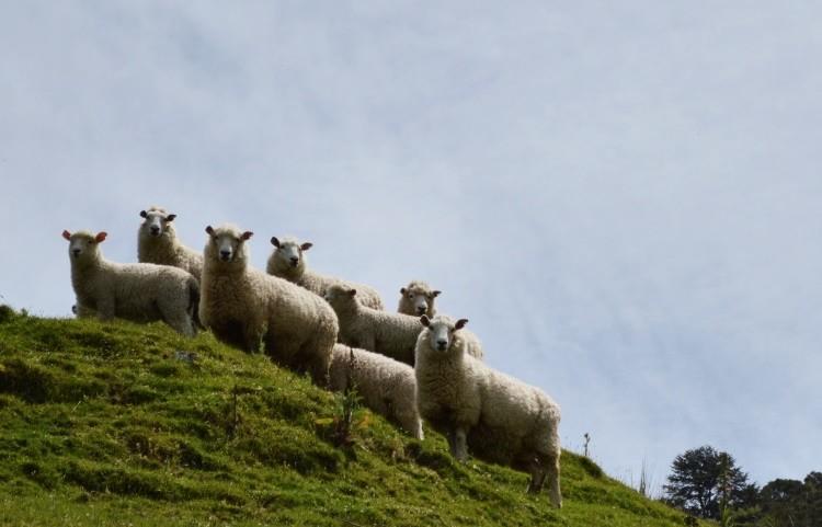 En Nueva Zelanda hay unos 30 millones de ovejas
