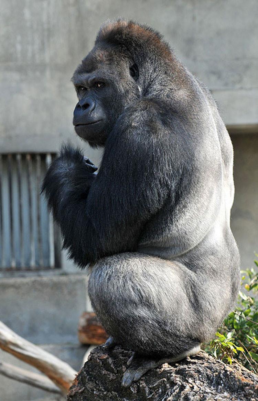 Japón: Gorila-galán vence los corazones de mujeres