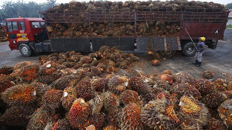 Revelan cómo las plantaciones de palma de aceite arruinan el ecosistema en Asia