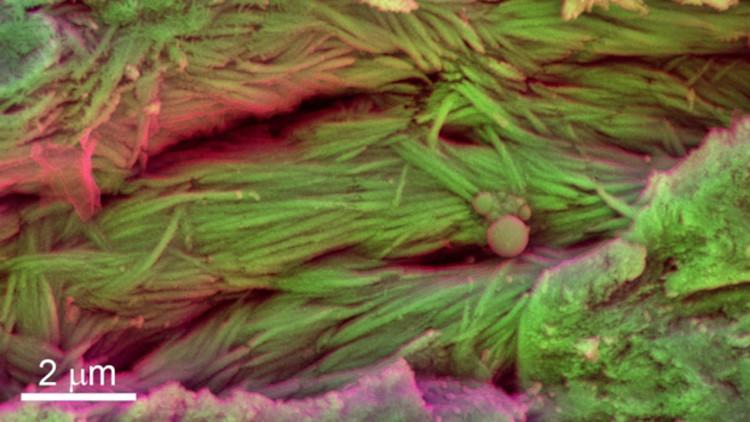 Inédito: los científicos hallan células de sangre de dinosaurio