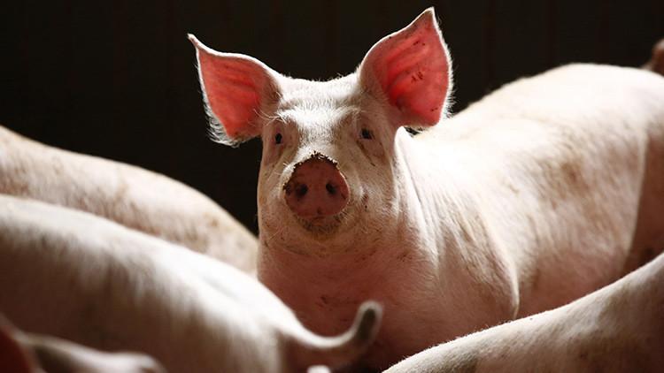 Agricultores franceses sueltan cerdos en un supermercado como medida de protesta (video)