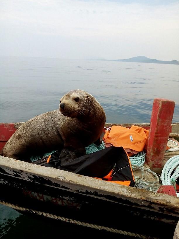 Fotos: Un lobo marino 'conquista' un barco pesquero en Rusia