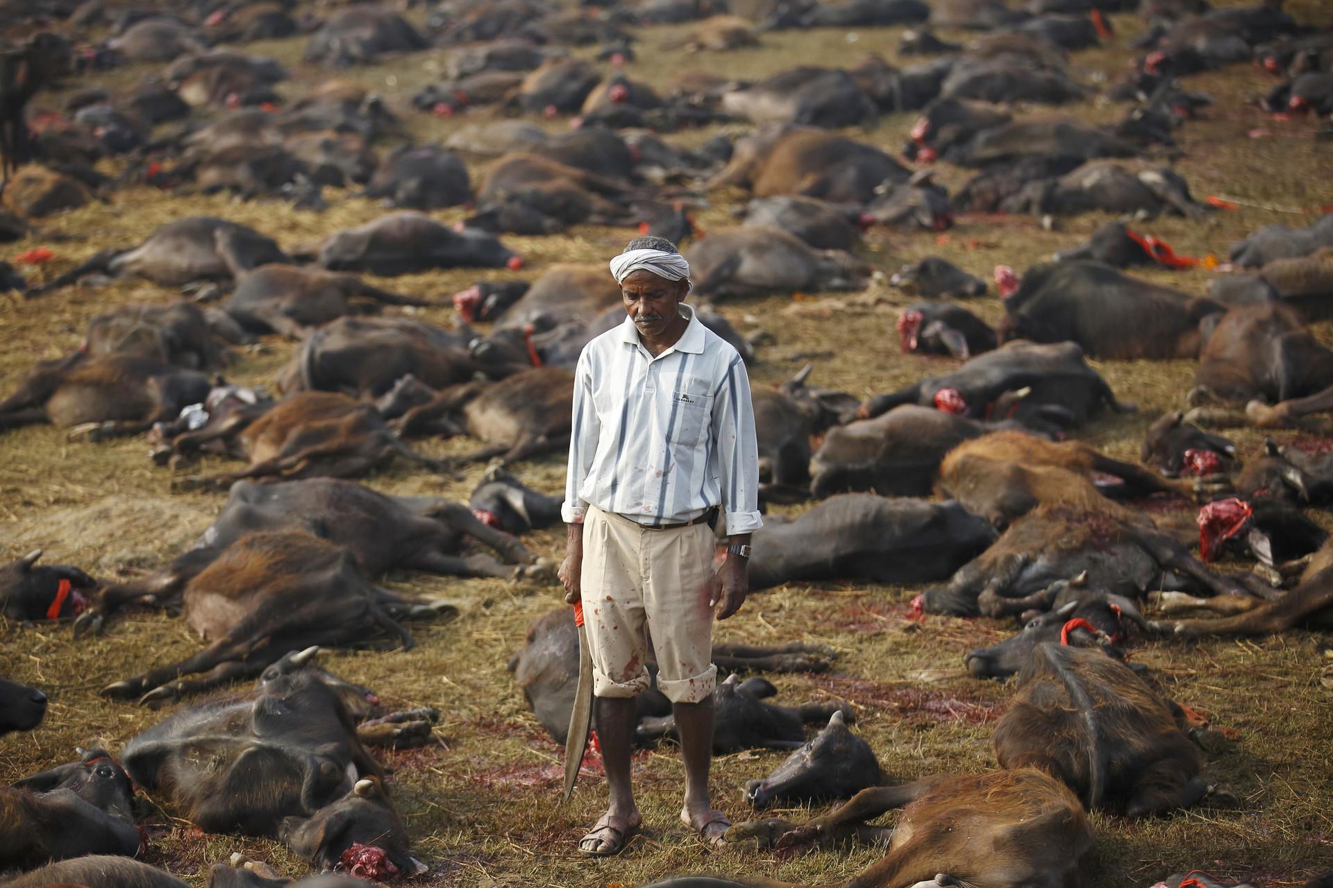 Prohíben el festival nepalí donde decapitan a cientos de miles de animales
