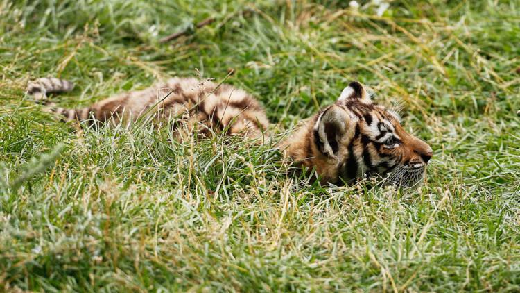 Rusia: Matan a tiros a un cachorro de tigre siberiano 'presidencial'