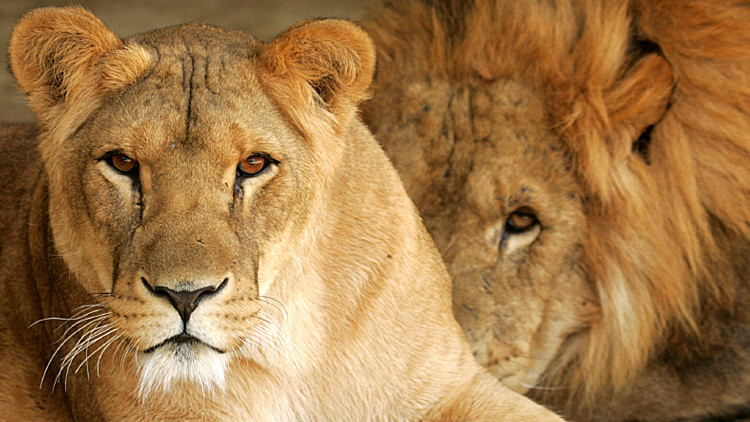 """Ministro británico de Medio Ambiente: """"Matar leones favorece la protección de las especies"""""""