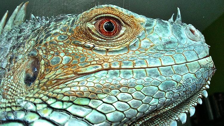 Invasión peligrosa: Cómo las iguanas se 'adueñaron' de Puerto Rico