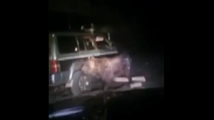 Un oso se venga del todoterreno que lo atropella