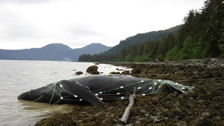Mortalidad inusual de ballenas en EE.UU.