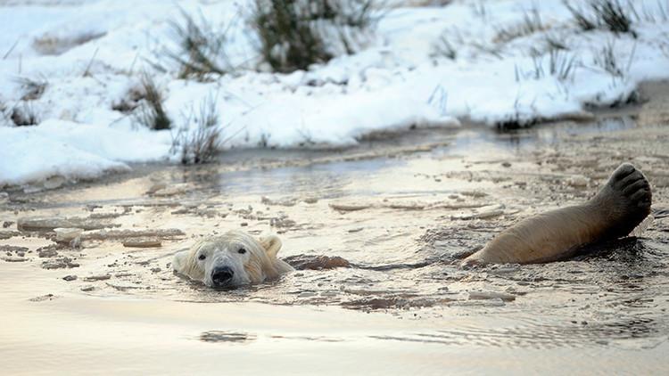 Fotografía impactante de una desnutrida osa polar suscita alarma sobre el cambio climático
