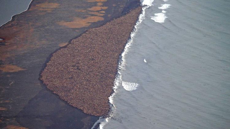 ¿Algo falla?: Miles de morsas se hacinan en Alaska