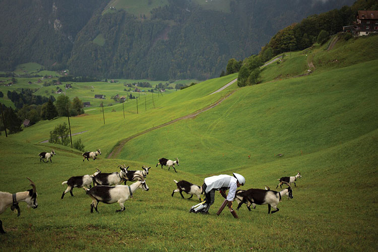 Como una cabra... ¿Qué busca este hombre a cuatro patas entre rebaños de los Alpes?