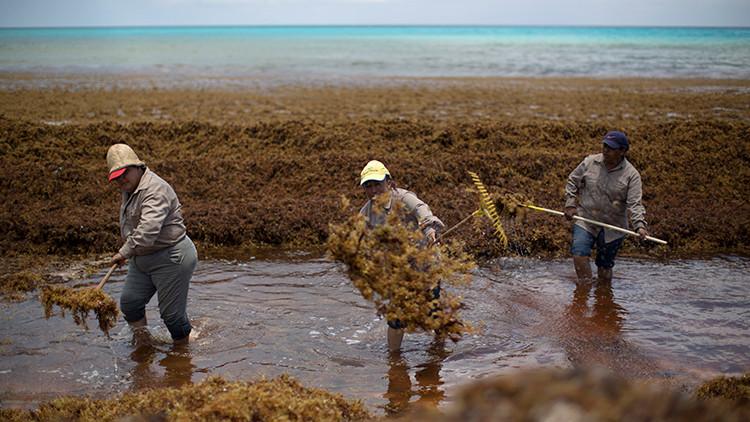 Invasión de algas en las playas paradisíacas del Caribe