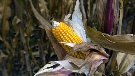 Monsanto en México: Un juzgado desbloquea la prohibición del maíz transgénico