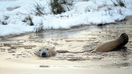 La fotografía de una desnutrida osa polar suscita alarma sobre el cambio climático