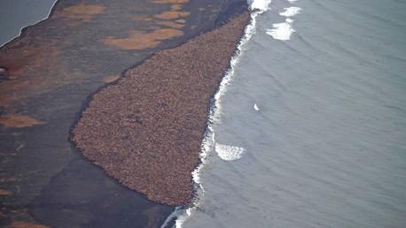 Alaska morsas