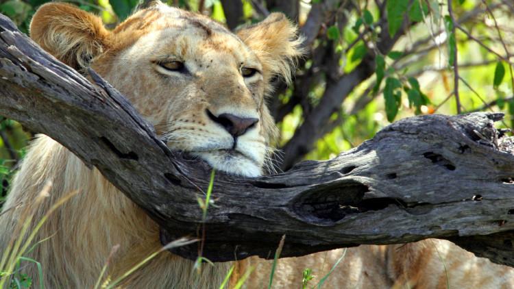 Biólogos deducen una paradójica ley natural: más herbívoros- menos depredadores