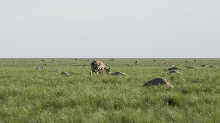 Descubren la causa de la muerte de miles de saigas en Kazajistán