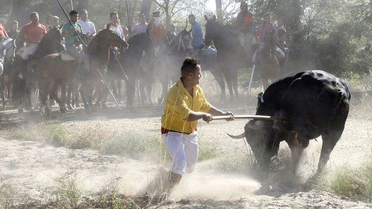 Un veterinario explica cómo muere el toro en el Torneo del Toro de la Vega
