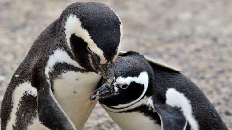 La llegada de los pingüinos a Chubut será emitida en directo por la televisión argentina
