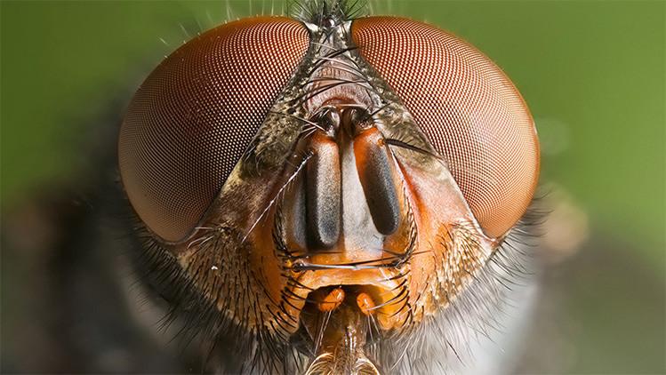 Todos los patrones de ojos de insectos caben en un solo modelo