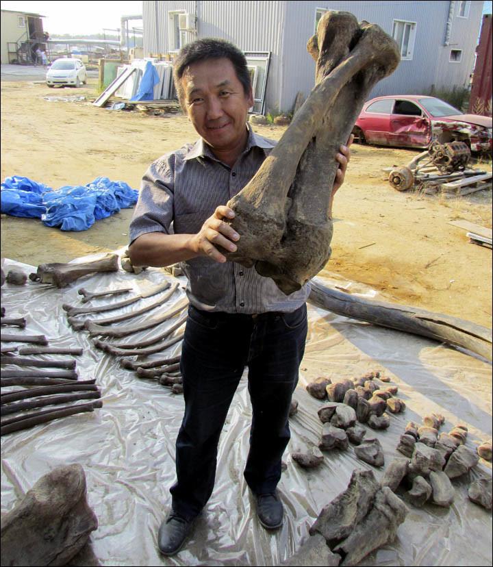 Rusia: Esqueleto casi completo de un mamut más grande hallan en Yakutsk