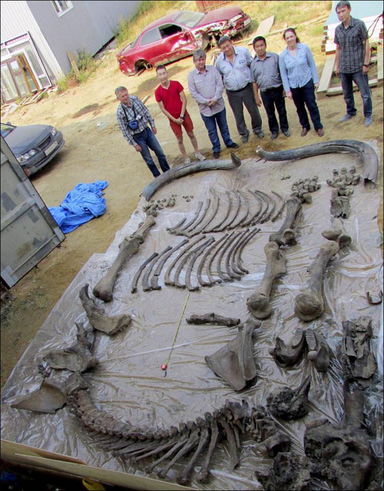 Rusia: Esqueleto más completo de un mamut único hallan en Yakutsk
