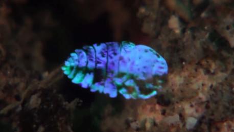 Resuelven el 'truco de magia' de  una especie marina que logra hacerse invisible (video)