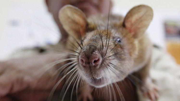 Una insólita especie de rata con hocico 'de cerdo' asoma la nariz en Indonesia
