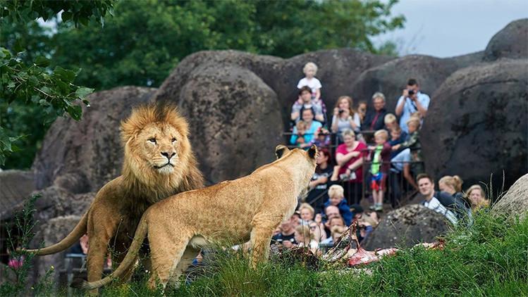 Leones en el zoológico danés en la ciudad de Odense
