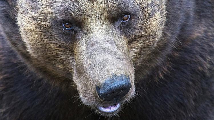 Video: Un oso pardo irrumpe en jardín infantil ruso, es abatido a tiros