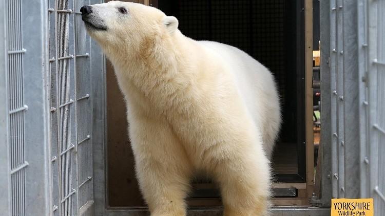 Inmigrantes se esconden en un camión con un oso polar ruso (video)