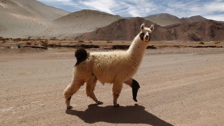 Bolivia propone consumir carne de llama ante las advertencias sanitarias de la OMS