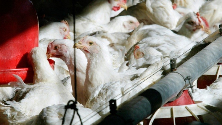 Despiden en EE.UU. a dos empleados de la procesadora de pollo Tyson por torturar a animales (Video)