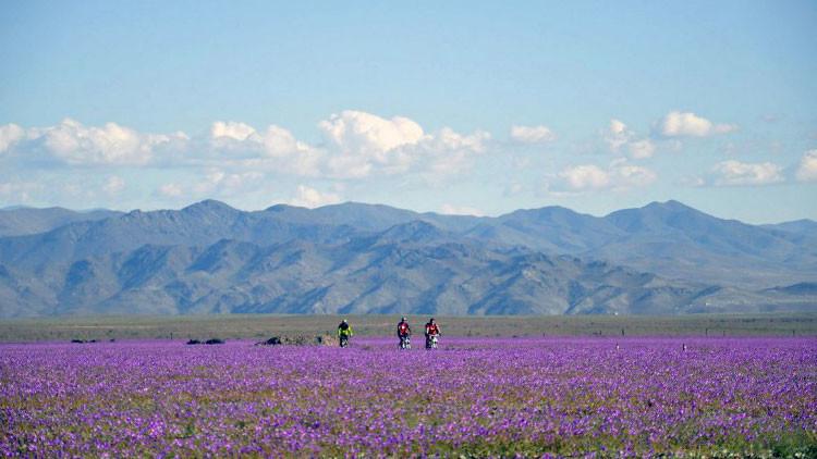 Inesperado fenómeno en Chile: desierto más árido del mundo se cubre de flores (Fotos)